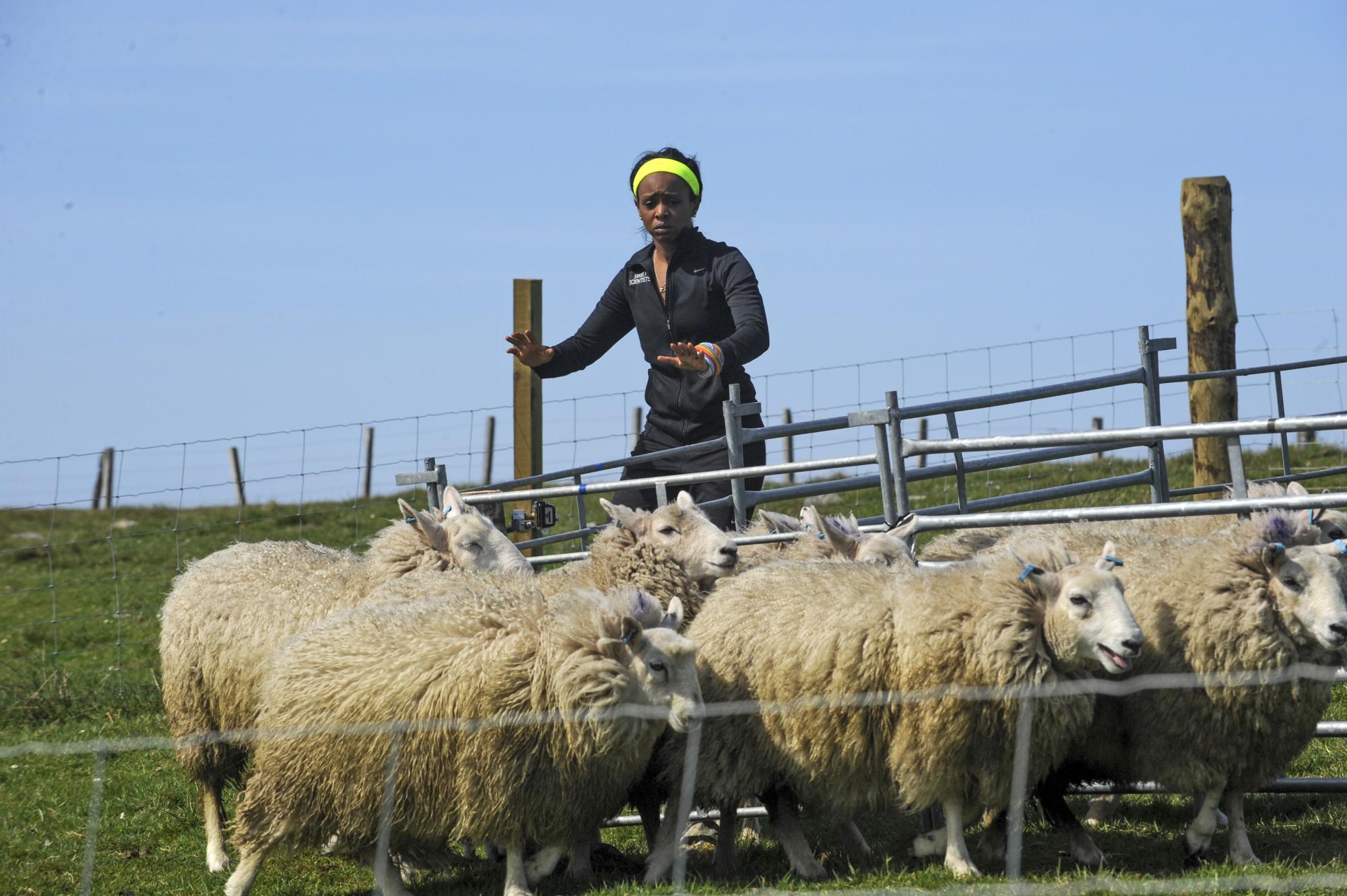 Herding a flock of sheep
