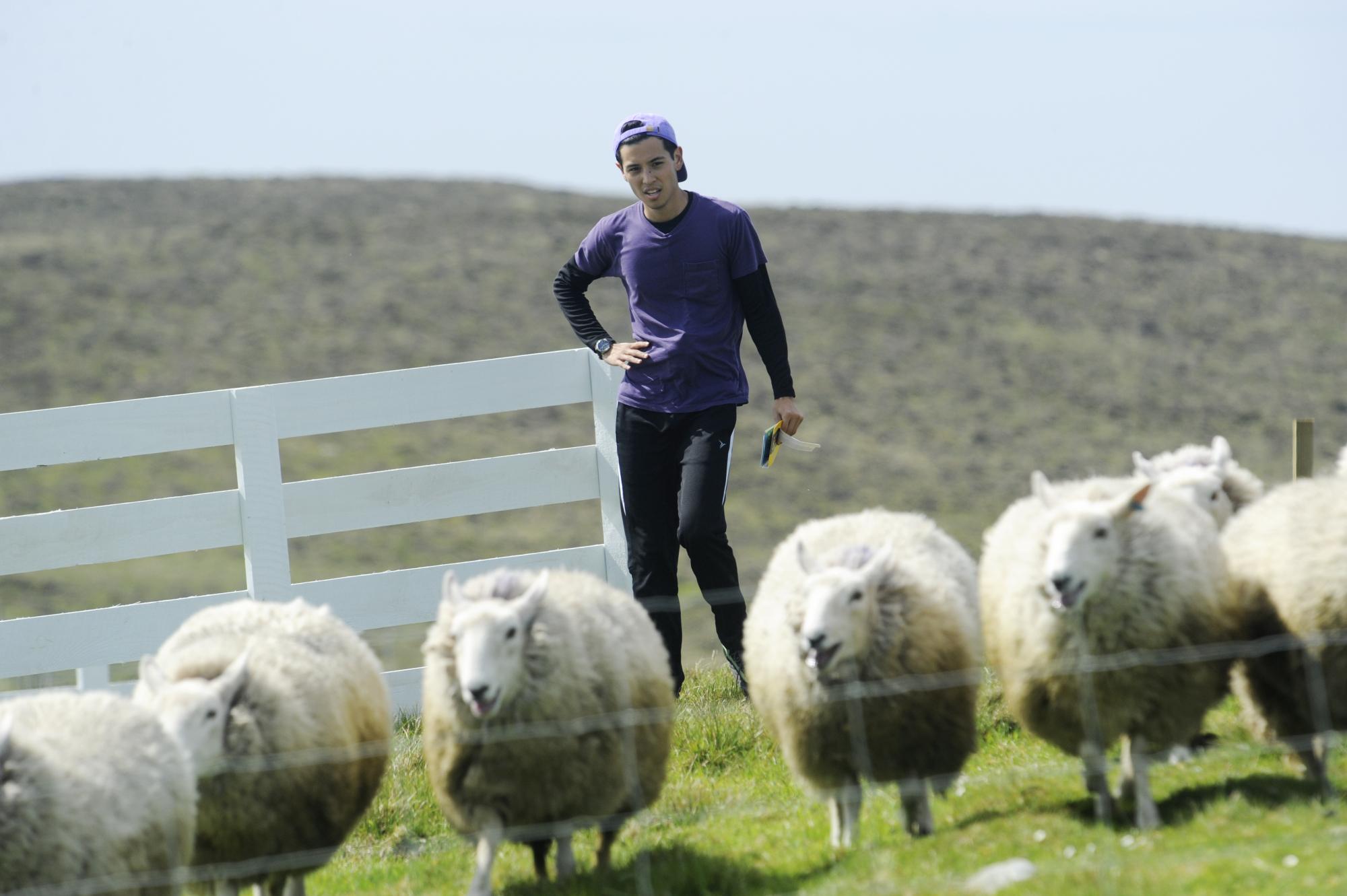 Te Jay works to herd sheep