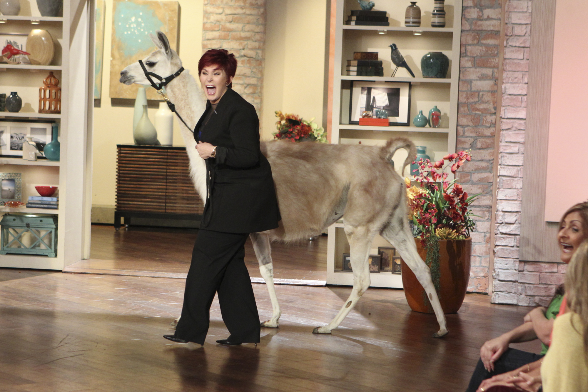 Sharon's Llama Drama.
