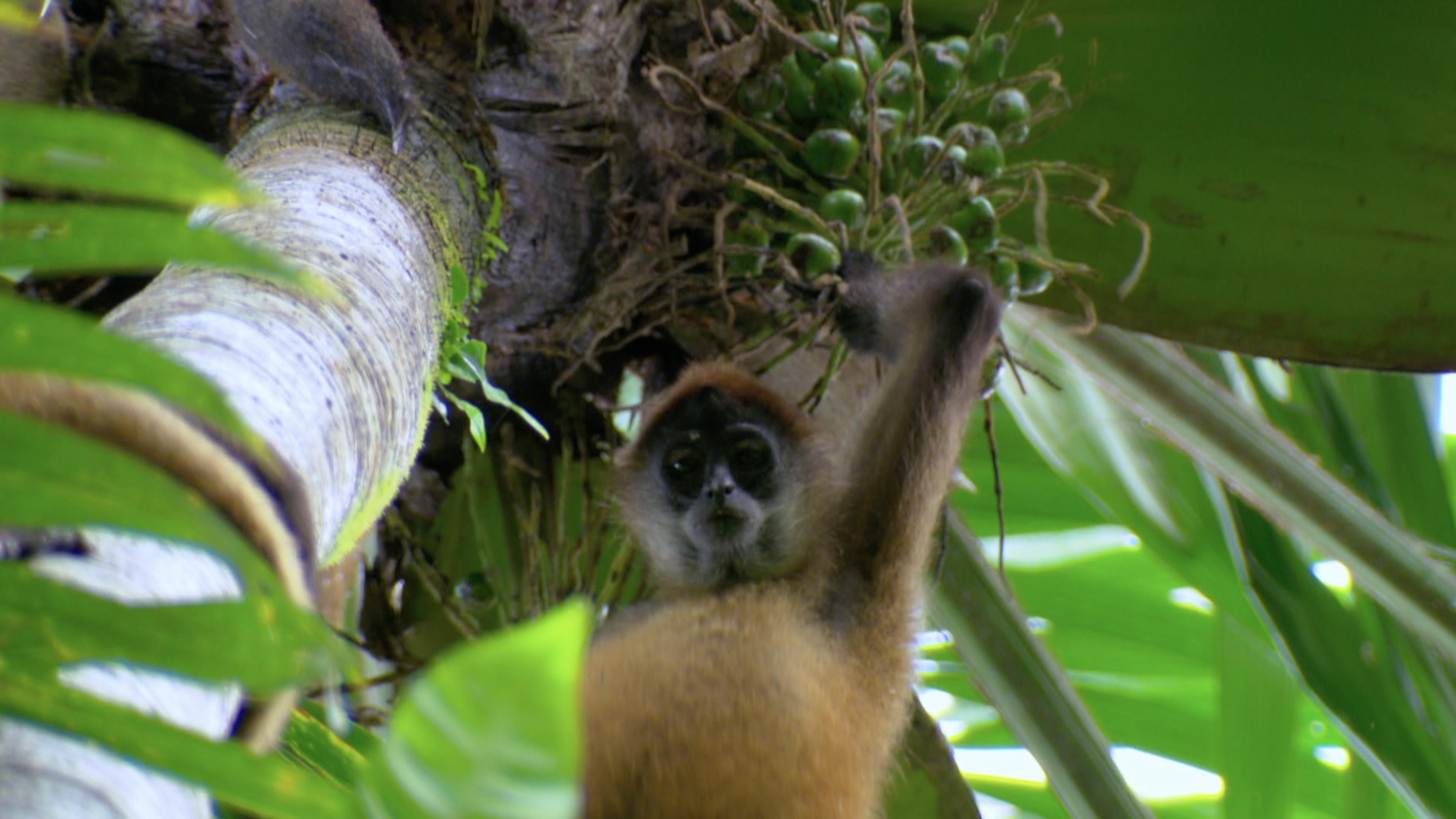 Red-Backed Squirrel Monkey (Saimiri oerstedii)