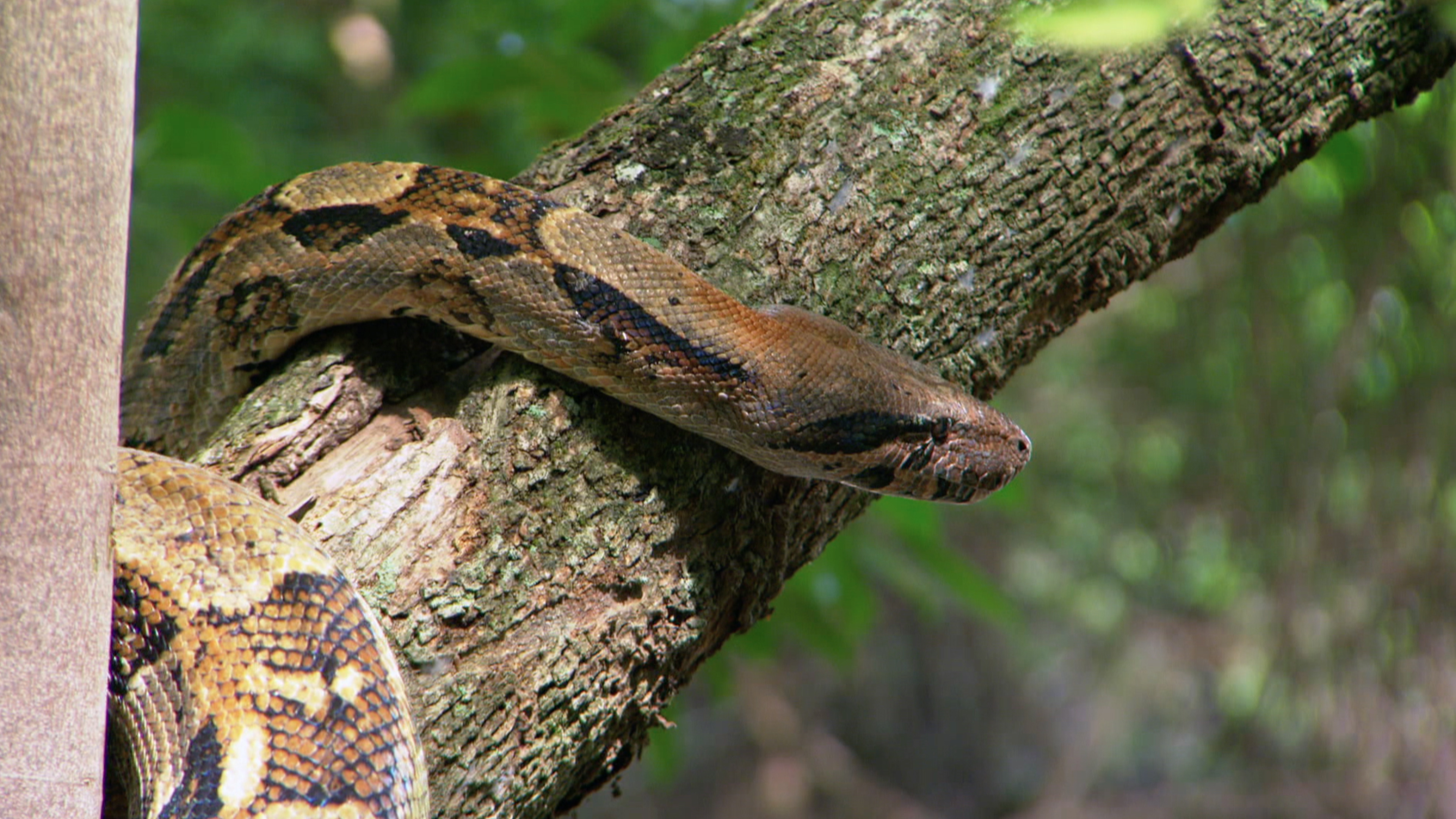 Red Tail Boa (Boa constrictor)