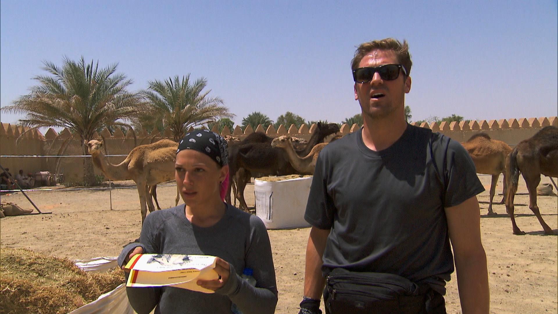 Judging a camel beauty contest