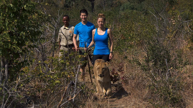 Cindy and Rick Chac (#ChacAttack) walk beside lions in Africa.