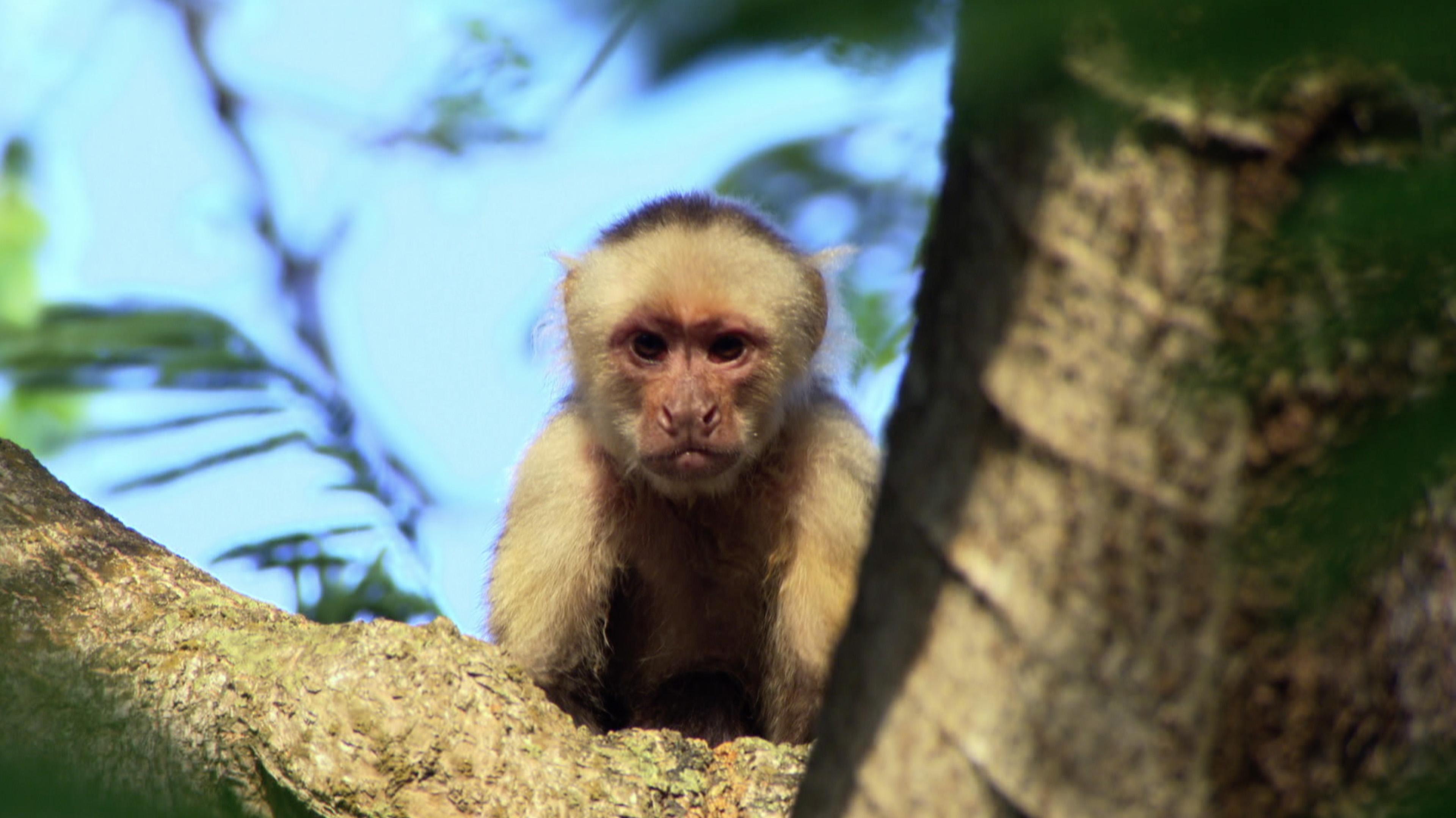 White-faced Capuchin (Cebus capucinus)